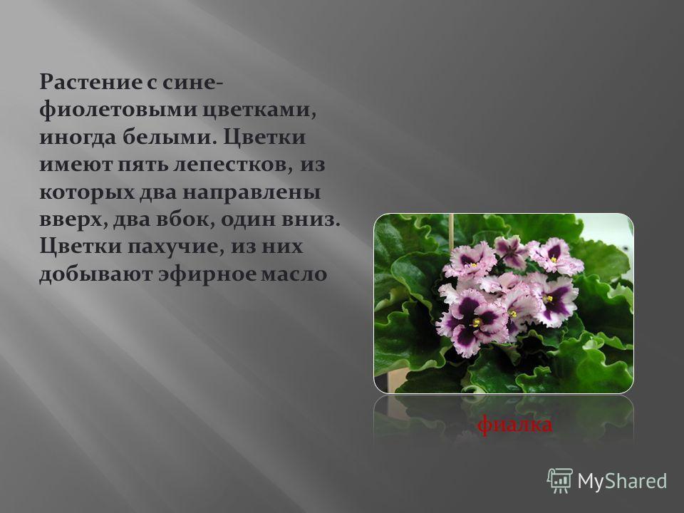 Растение с сине- фиолетовыми цветками, иногда белыми. Цветки имеют пять лепестков, из которых два направлены вверх, два вбок, один вниз. Цветки пахучие, из них добывают эфирное масло фиалка