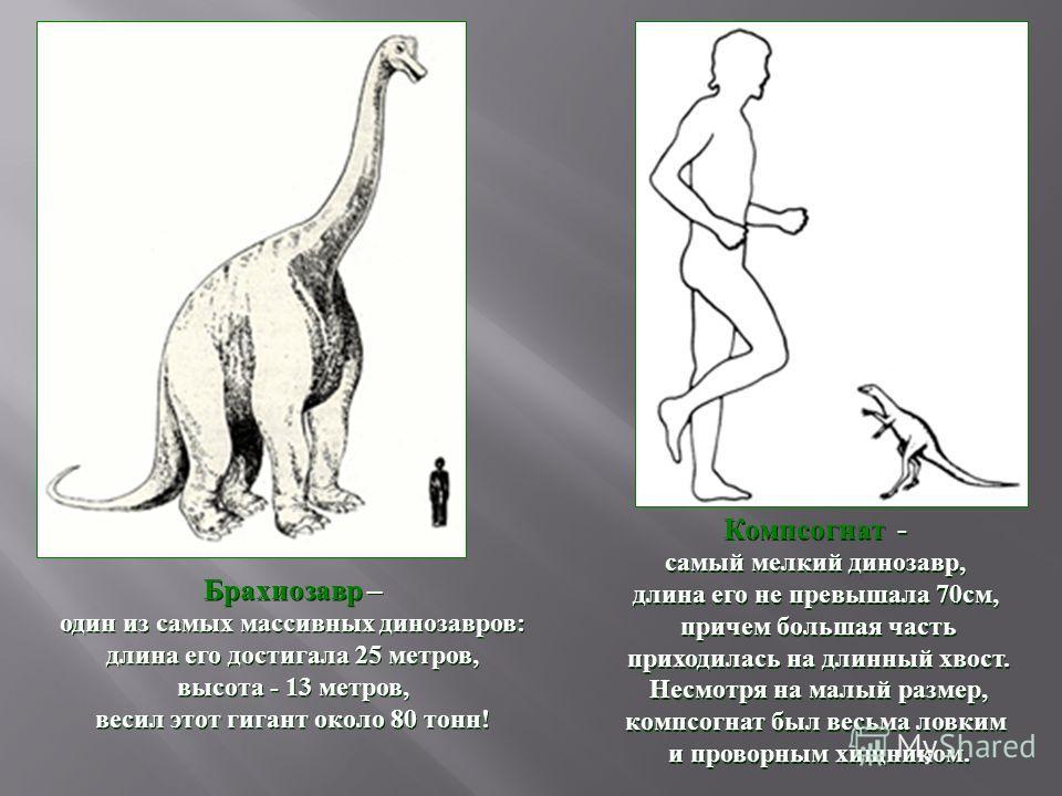 Брахиозавр – один из самых массивных динозавров : длина его достигала 25 метров, высота - 13 метров, весил этот гигант около 80 тонн ! Брахиозавр – один из самых массивных динозавров : длина его достигала 25 метров, высота - 13 метров, весил этот гиг