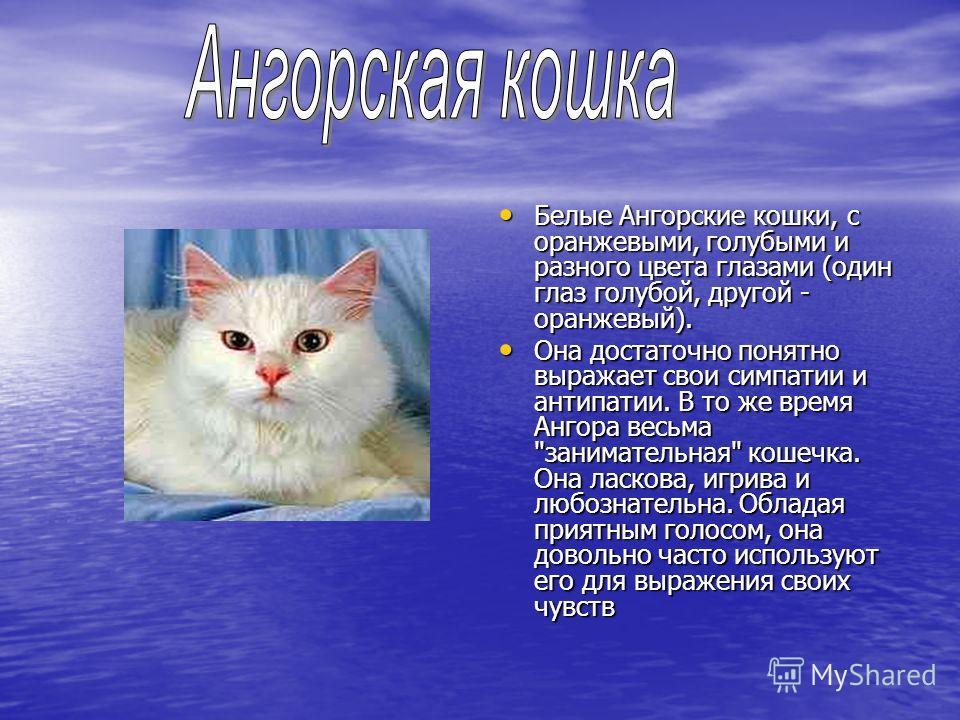 Белые Ангорские кошки, с оранжевыми, голубыми и разного цвета глазами (один глаз голубой, другой - оранжевый). Белые Ангорские кошки, с оранжевыми, голубыми и разного цвета глазами (один глаз голубой, другой - оранжевый). Она достаточно понятно выраж