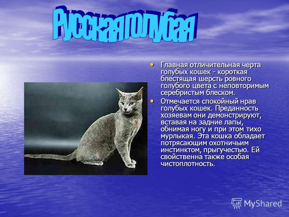 Главная отличительная черта голубых кошек - короткая блестящая шерсть ровного голубого цвета с неповторимым серебристым блеском. Главная отличительная черта голубых кошек - короткая блестящая шерсть ровного голубого цвета с неповторимым серебристым б
