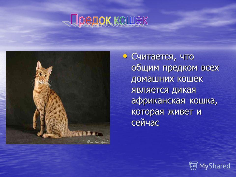 Считается, что общим предком всех домашних кошек является дикая африканская кошка, которая живет и сейчас Считается, что общим предком всех домашних кошек является дикая африканская кошка, которая живет и сейчас