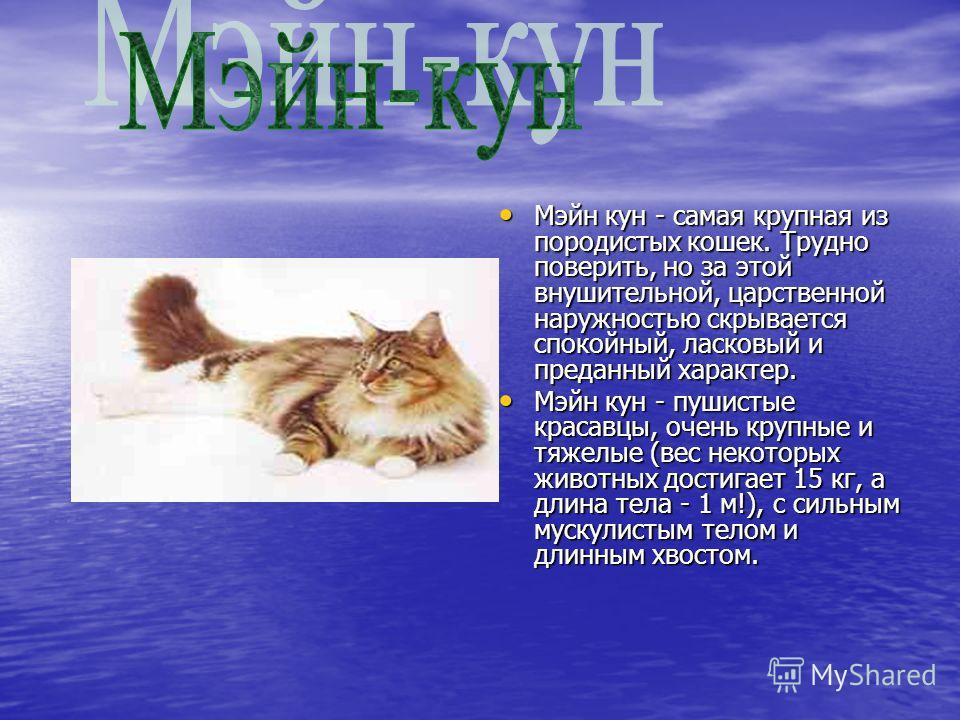 Мэйн кун - самая крупная из породистых кошек. Трудно поверить, но за этой внушительной, царственной наружностью скрывается спокойный, ласковый и преданный характер. Мэйн кун - самая крупная из породистых кошек. Трудно поверить, но за этой внушительно