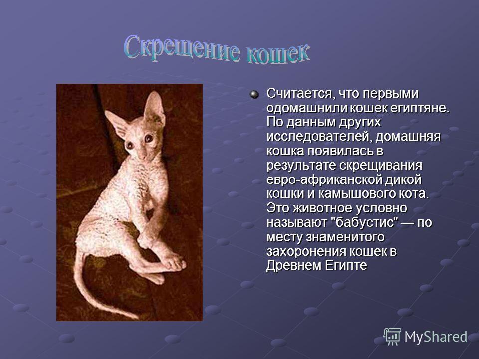 Считается, что первыми одомашнили кошек египтяне. По данным других исследователей, домашняя кошка появилась в результате скрещивания евро-африканской дикой кошки и камышового кота. Это животное условно называют