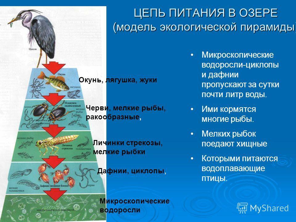 ЦЕПЬ ПИТАНИЯ В ОЗЕРЕ (модель экологической пирамиды) Окунь, лягушка, жуки Черви, мелкие рыбы, ракообразные, Личинки стрекозы, мелкие рыбки Дафнии, циклопы, Микроскопические водоросли Микроскопические водоросли-циклопы и дафнии пропускают за сутки поч