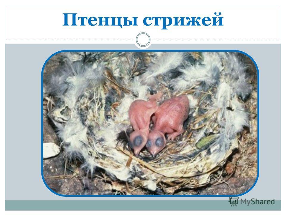 Птенцы стрижей