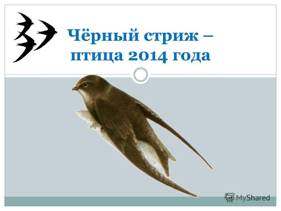 Чёрный стриж – птица 2014 года