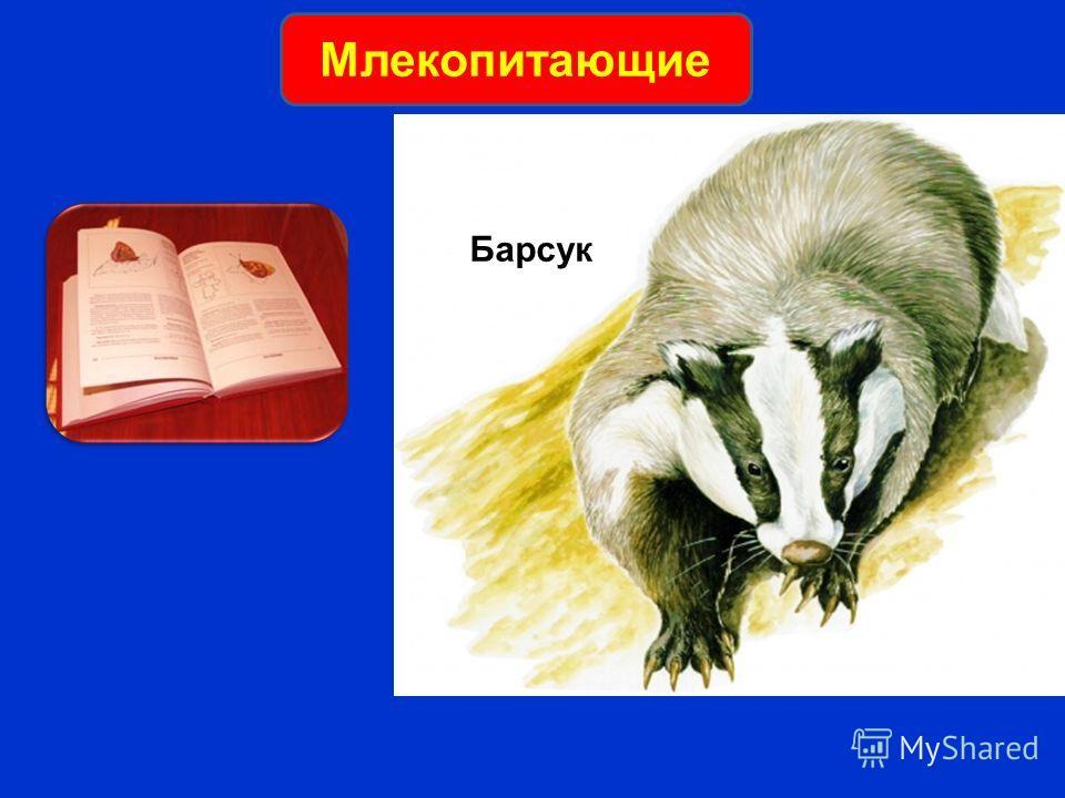 Барсук Млекопитающие