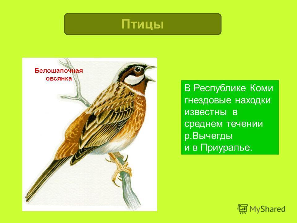 Белошапочная овсянка В Республике Коми гнездовые находки известны в среднем течении р.Вычегды и в Приуралье. Птицы