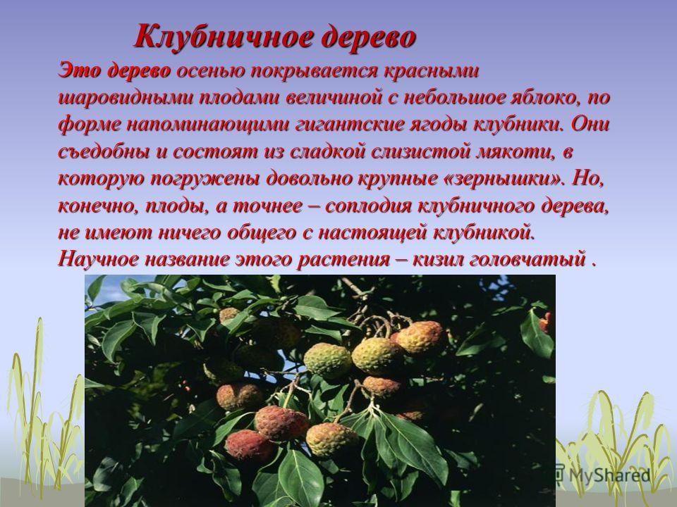 Клубничное дерево Это дерево осенью покрывается красными шаровидными плодами величиной с небольшое яблоко, по форме напоминающими гигантские ягоды клубники. Они съедобны и состоят из сладкой слизистой мякоти, в которую погружены довольно крупные «зер