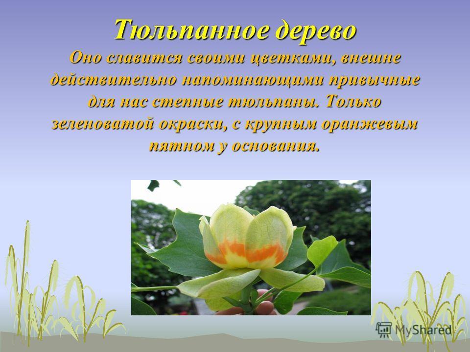 Тюльпанное дерево Оно славится своими цветками, внешне действительно напоминающими привычные для нас степные тюльпаны. Только зеленоватой окраски, с крупным оранжевым пятном у основания. Тюльпанное дерево Оно славится своими цветками, внешне действит