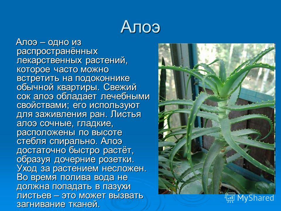Алоэ Алоэ – одно из распространённых лекарственных растений, которое часто можно встретить на подоконнике обычной квартиры. Свежий сок алоэ обладает лечебными свойствами; его используют для заживления ран. Листья алоэ сочные, гладкие, расположены по