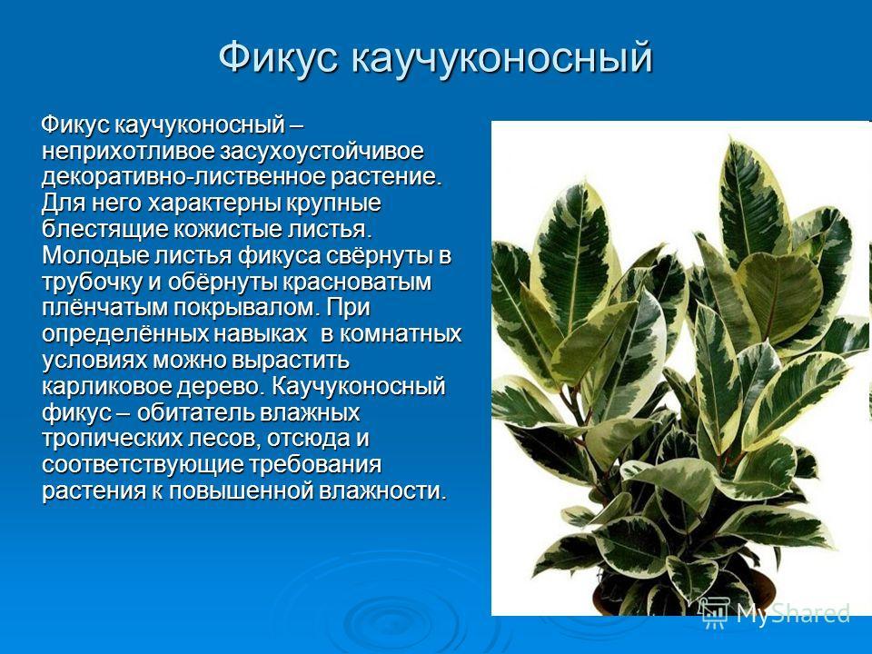 Фикус каучуконосный Фикус каучуконосный – неприхотливое засухоустойчивое декоративно-лиственное растение. Для него характерны крупные блестящие кожистые листья. Молодые листья фикуса свёрнуты в трубочку и обёрнуты красноватым плёнчатым покрывалом. Пр