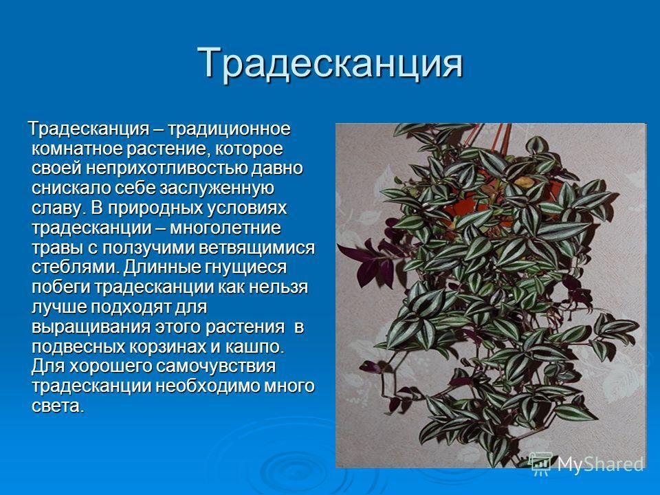 Традесканция Традесканция – традиционное комнатное растение, которое своей неприхотливостью давно снискало себе заслуженную славу. В природных условиях традесканции – многолетние травы с ползучими ветвящимися стеблями. Длинные гнущиеся побеги традеск