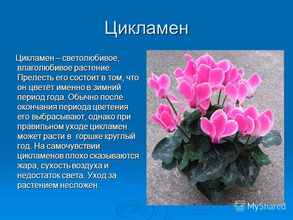 Цикламен Цикламен – светолюбивое, влаголюбивое растение. Прелесть его состоит в том, что он цветёт именно в зимний период года. Обычно после окончания периода цветения его выбрасывают, однако при правильном уходе цикламен может расти в горшке круглый