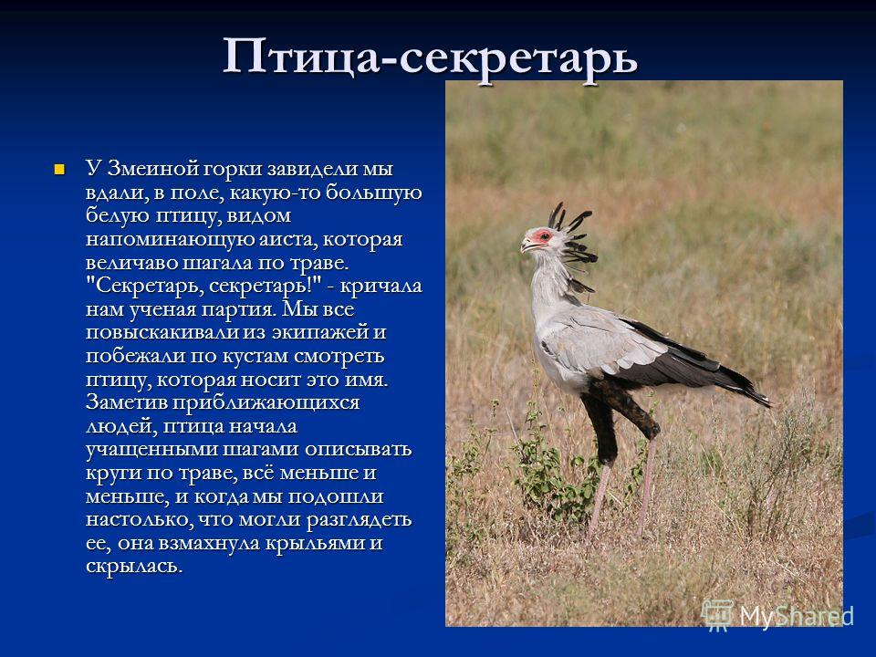 У Змеиной горки завидели мы вдали, в поле, какую-то большую белую птицу, видом напоминающую аиста, которая величаво шагала по траве.