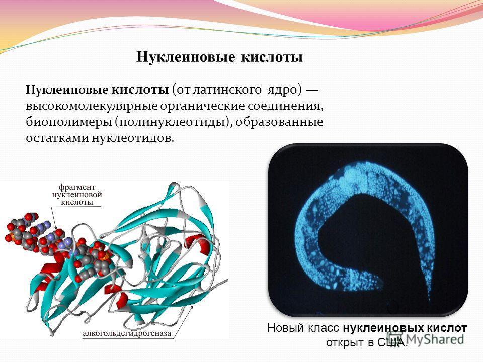 Нуклеиновые кислоты Нуклеиновые кислоты (от латинского ядро) высокомолекулярные органические соединения, биополимеры (полинуклеотиды), образованные остатками нуклеотидов. Новый класс нуклеиновых кислот открыт в США.