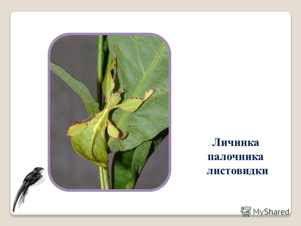 Личинка палочника листовидки