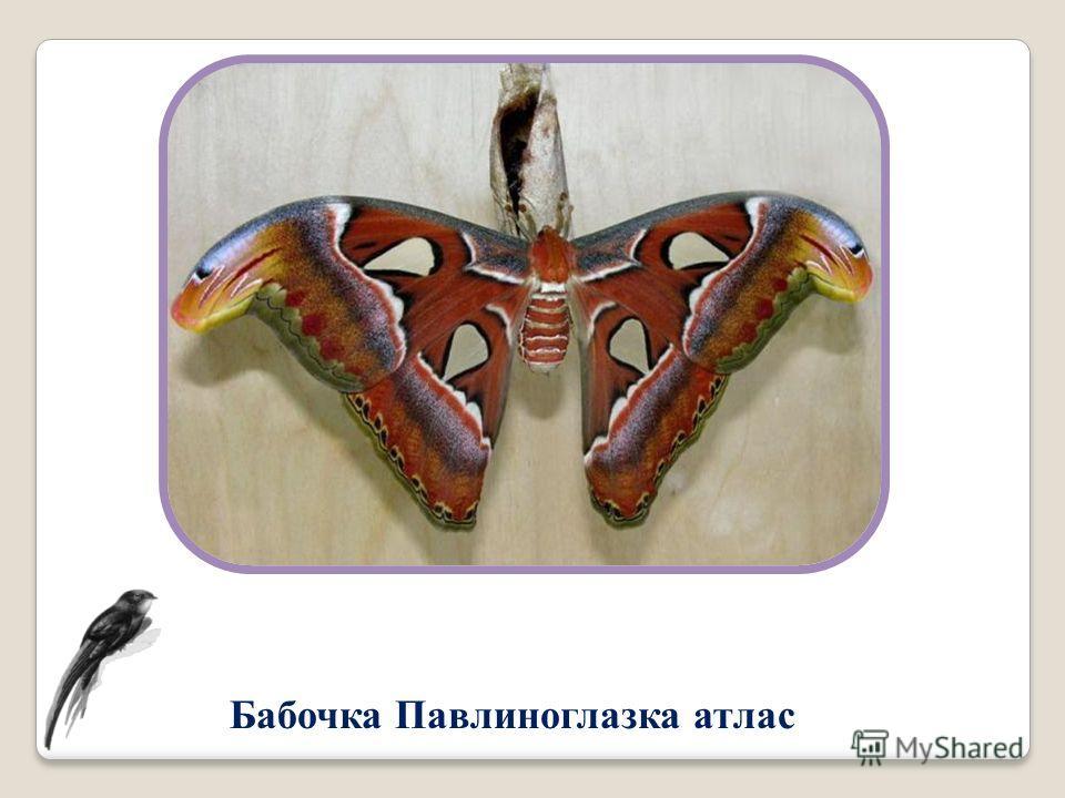 Бабочка Павлиноглазка атлас
