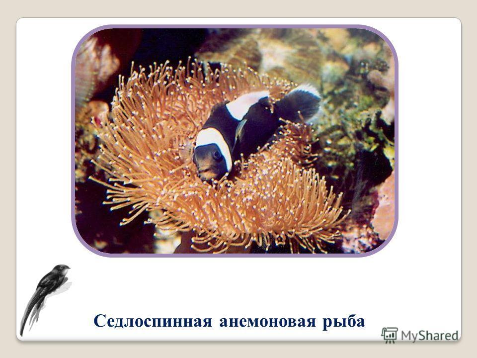 Седлоспинная анемоновая рыба