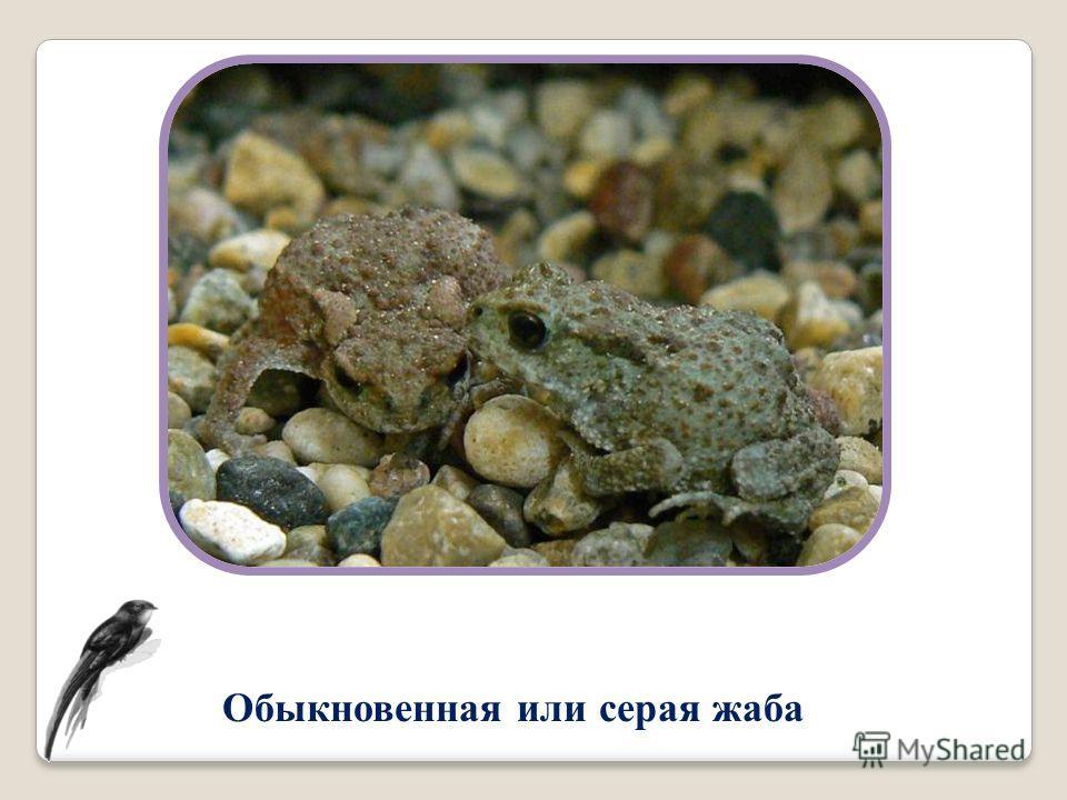 Обыкновенная или серая жаба