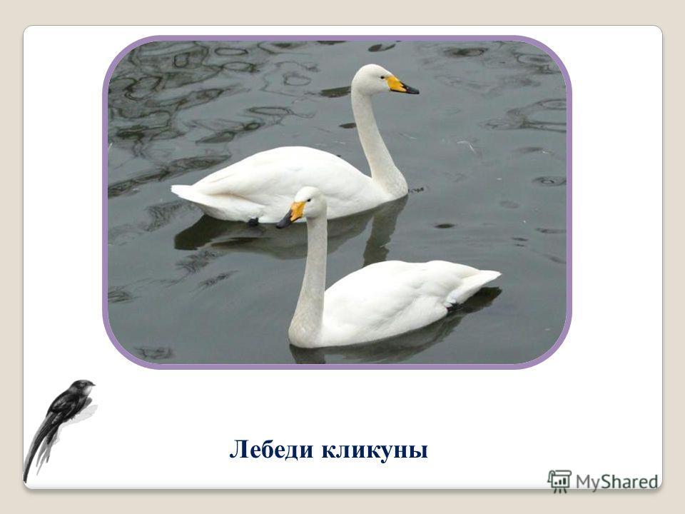 Лебеди кликуны