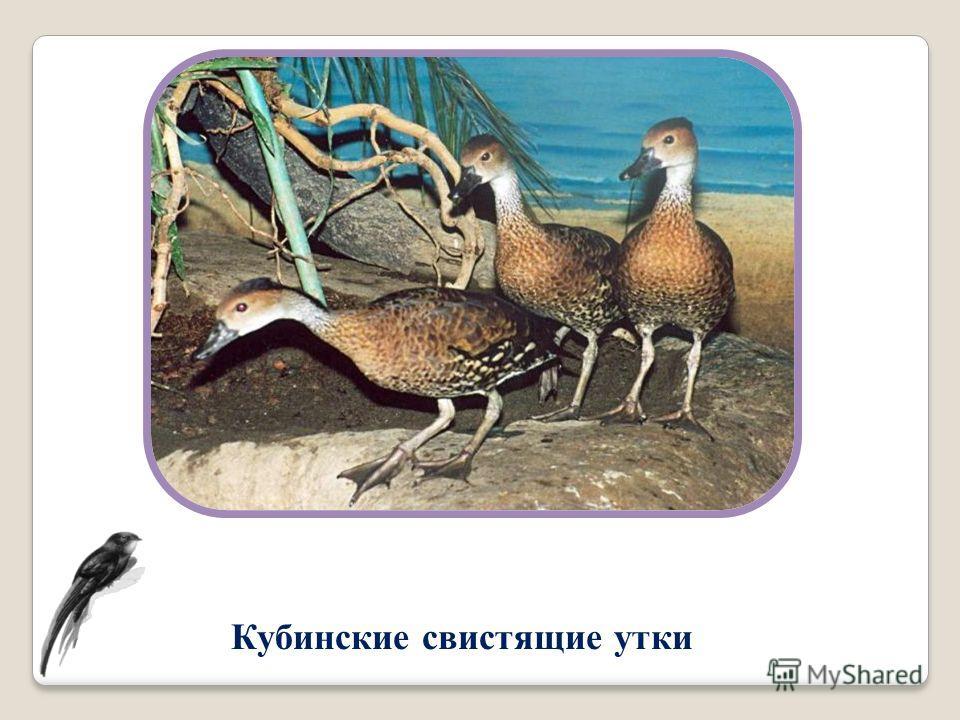 Кубинские свистящие утки
