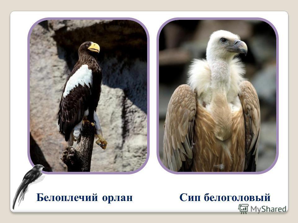 Белоплечий орлан Сип белоголовый