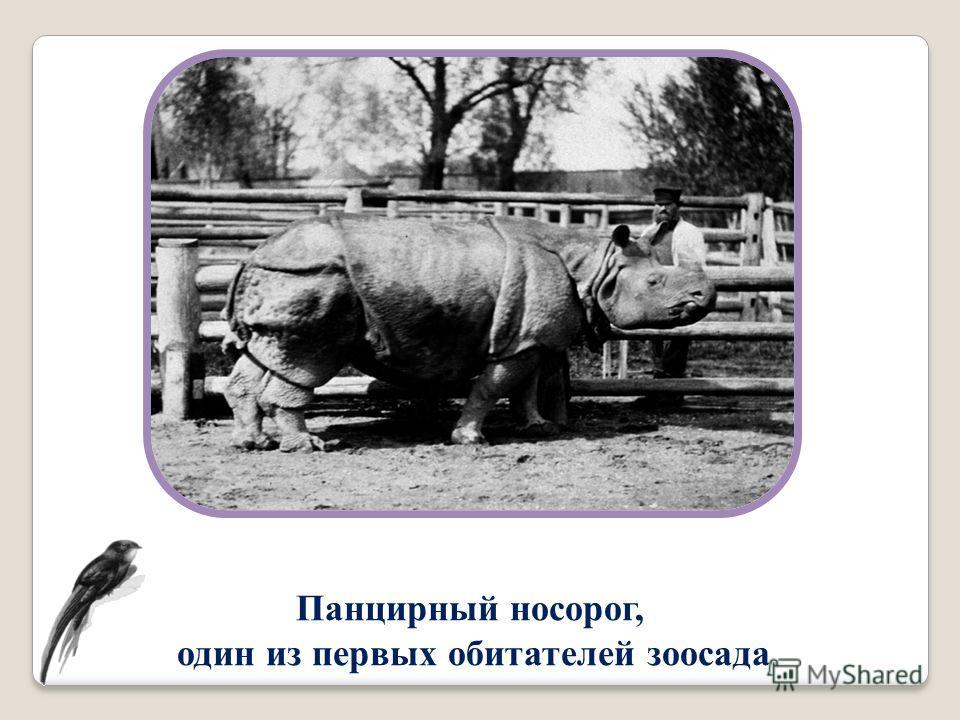 Панцирный носорог, один из первых обитателей зоосада