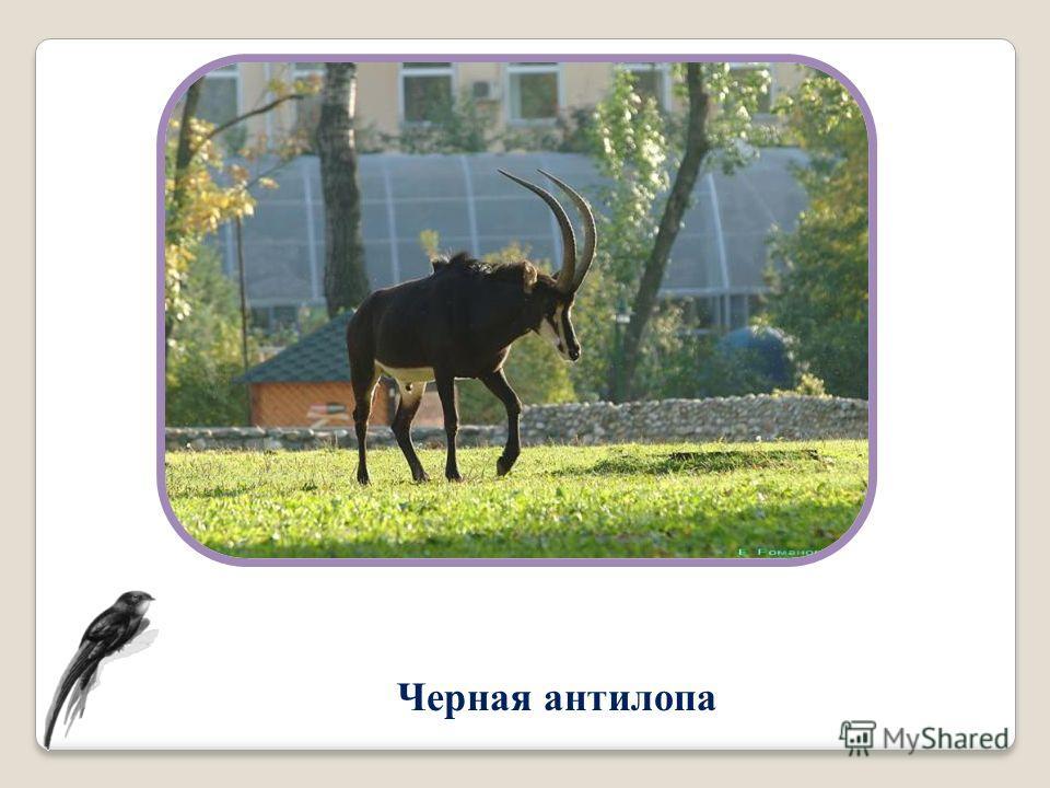 Черная антилопа
