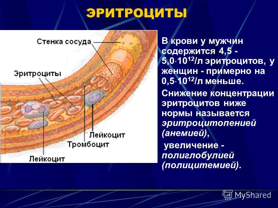ЭРИТРОЦИТЫ В крови у мужчин содержится 4,5 - 5,0 10 12 /л эритроцитов, у женщин - примерно на 0,5 10 12 /л меньше. Снижение концентрации эритроцитов ниже нормы называется эритроцитопенией (анемией), увеличение - полиглобулией (полицитемией).