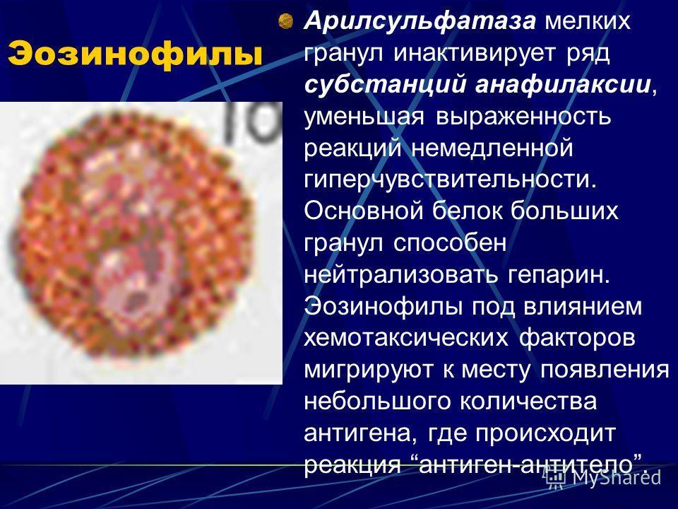 Эозинофилы Арилсульфатаза мелких гранул инактивирует ряд субстанций анафилаксии, уменьшая выраженность реакций немедленной гиперчувствительности. Основной белок больших гранул способен нейтрализовать гепарин. Эозинофилы под влиянием хемотаксических ф
