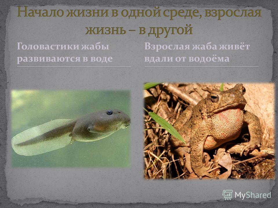 Головастики жабы развиваются в воде Взрослая жаба живёт вдали от водоёма