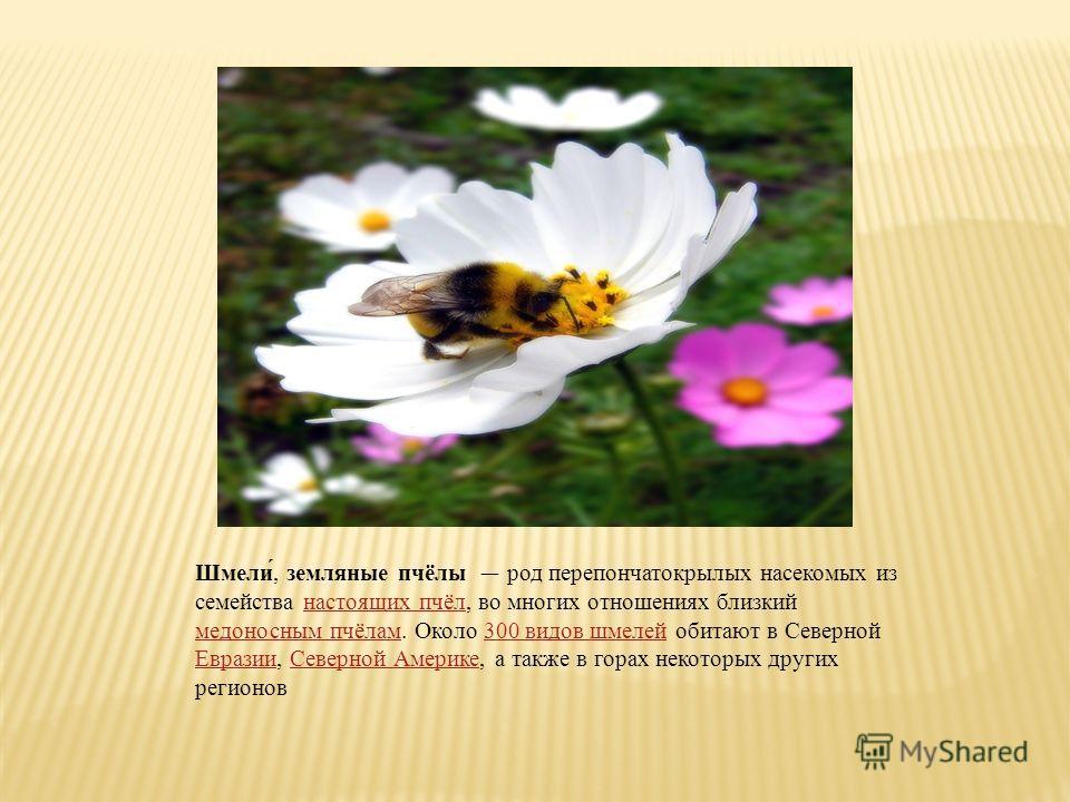 Шмели́, земляные пчёлы род перепончатокрылых насекомых из семейства настоящих пчёл, во многих отношениях близкий медоносным пчёлам. Около 300 видов шмелей обитают в Северной Евразии, Северной Америке, а также в горах некоторых других регионовнастоящи