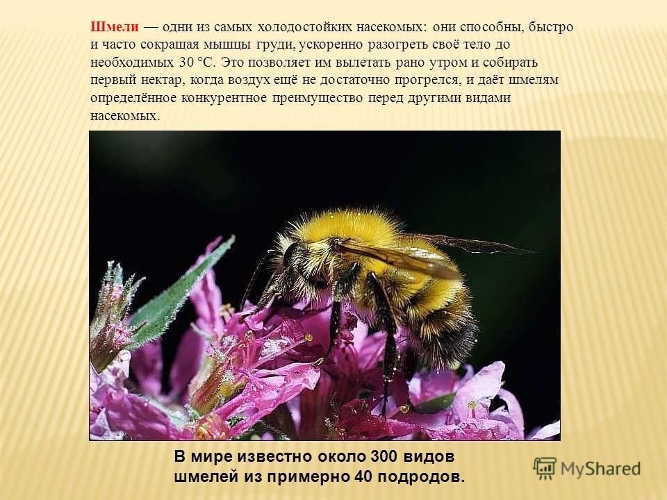 Шмели одни из самых холодостойких насекомых: они способны, быстро и часто сокращая мышцы груди, ускоренно разогреть своё тело до необходимых 30 °C. Это позволяет им вылетать рано утром и собирать первый нектар, когда воздух ещё не достаточно прогрелс