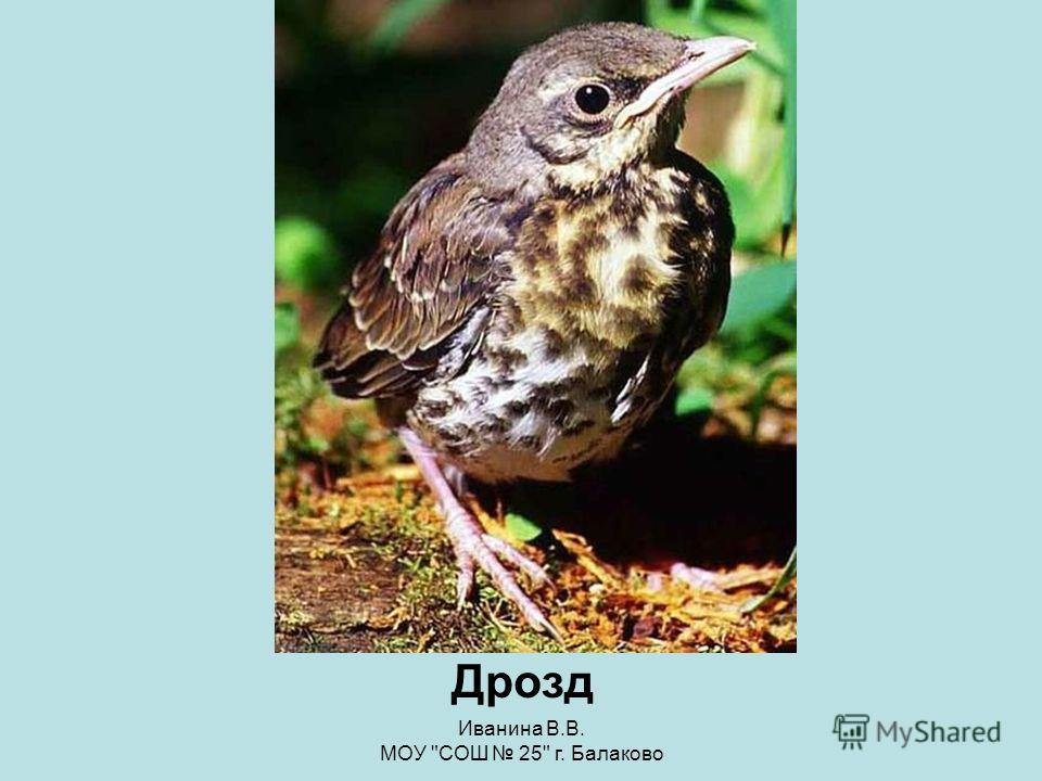 Иванина В.В. МОУ СОШ 25 г. Балаково Конкурс «Птичьи портреты» Зяблик