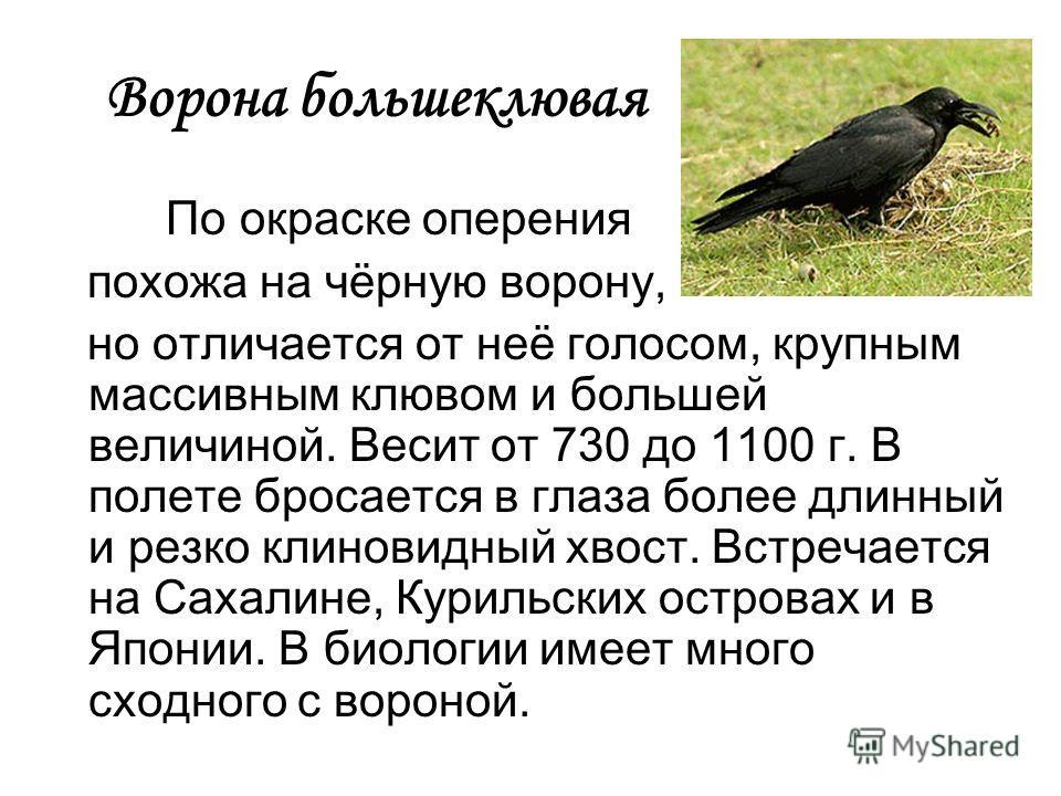 Ворона большеклювая По окраске оперения похожа на чёрную ворону, но отличается от неё голосом, крупным массивным клювом и большей величиной. Весит от 730 до 1100 г. В полете бросается в глаза более длинный и резко клиновидный хвост. Встречается на Са