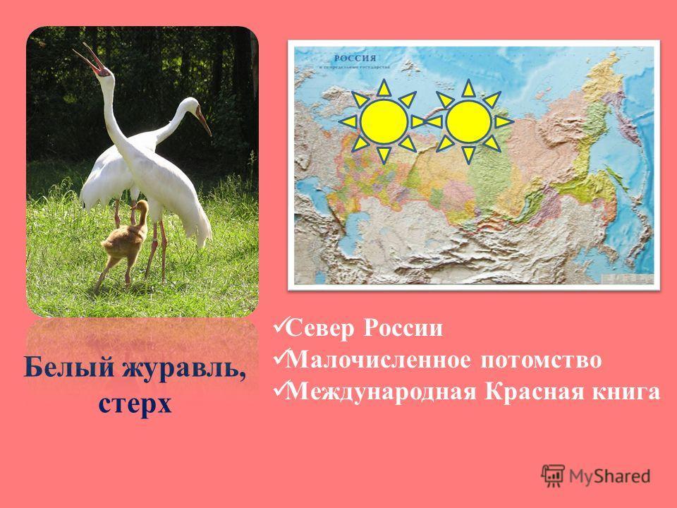 Белый журавль, стерх Север России Малочисленное потомство Международная Красная книга