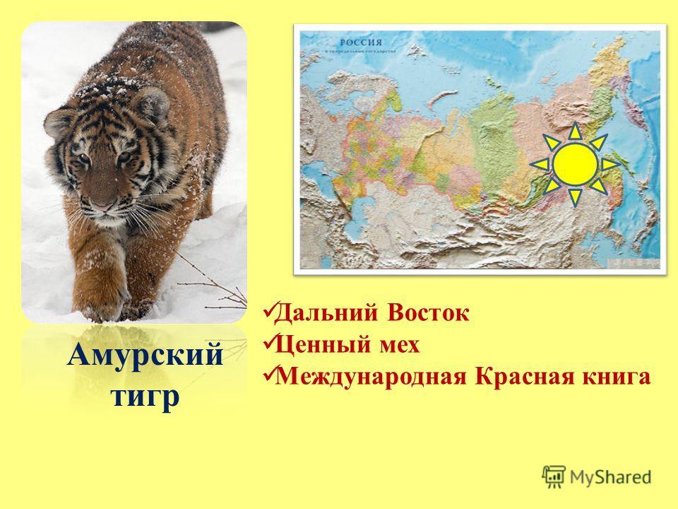 Амурский тигр Дальний Восток Ценный мех Международная Красная книга
