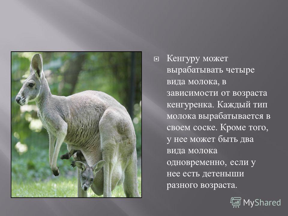 Кенгуру может вырабатывать четыре вида молока, в зависимости от возраста кенгуренка. Каждый тип молока вырабатывается в своем соске. Кроме того, у нее может быть два вида молока одновременно, если у нее есть детеныши разного возраста.