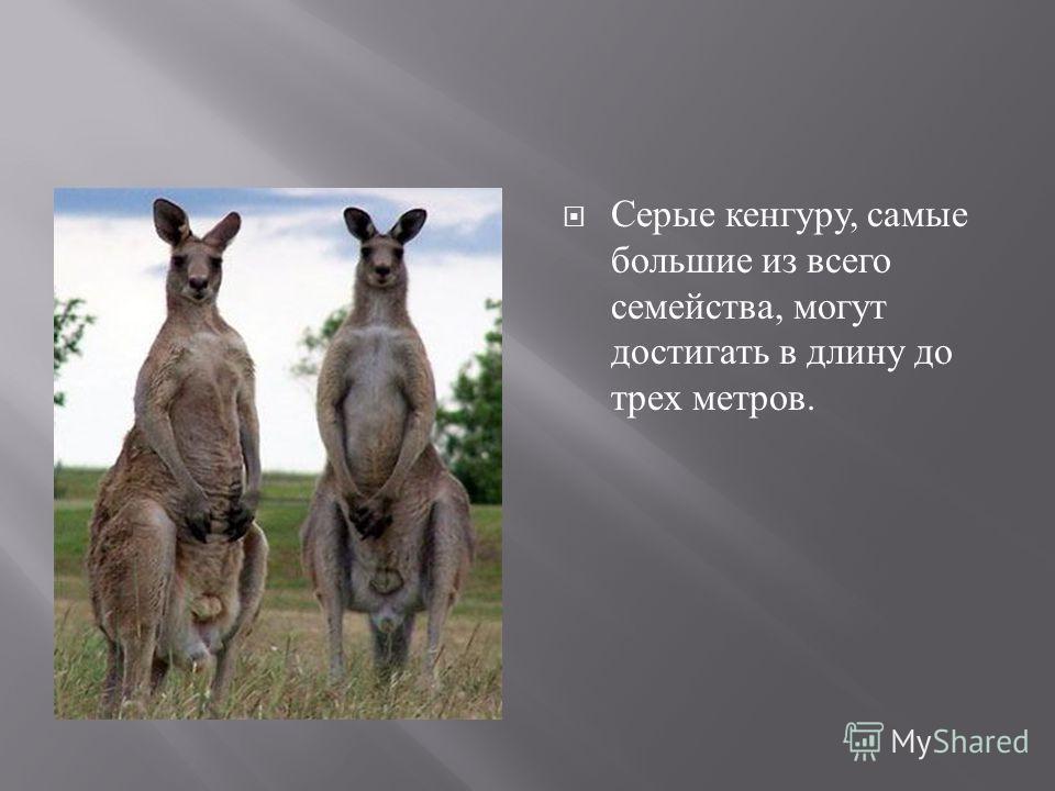 Серые кенгуру, самые большие из всего семейства, могут достигать в длину до трех метров.