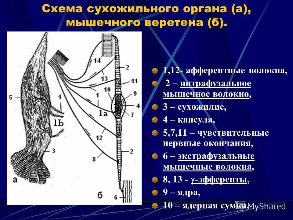 Схема сухожильного органа (а), мышечного веретена (б). 1,12- афферентные волокна, 2 – интрафузальное мышечное волокно, 3 – сухожилие, 4 – капсула, 5,7,11 – чувствительные нервные окончания, 6 – экстрафузальные мышечные волокна, 8, 13 - -эфференты, 9