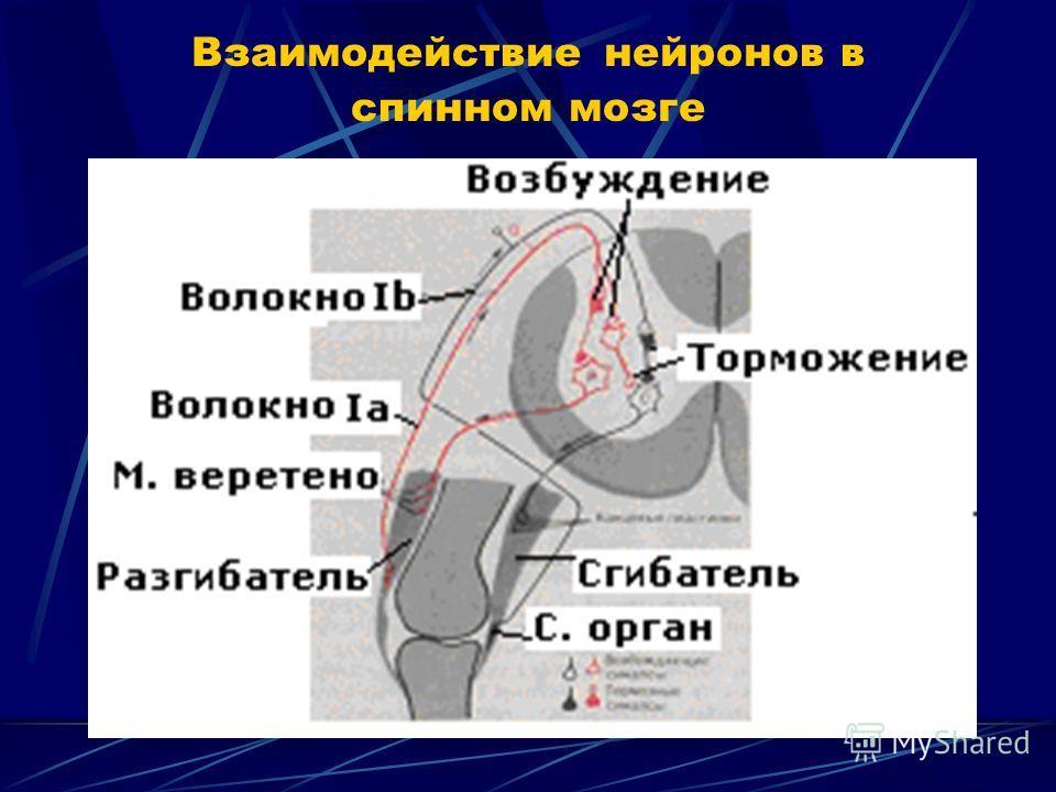 Взаимодействие нейронов в спинном мозге