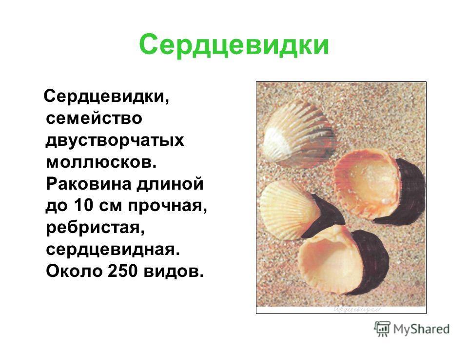 Сердцевидки Сердцевидки, семейство двустворчатых моллюсков. Раковина длиной до 10 см прочная, ребристая, сердцевидная. Около 250 видов.