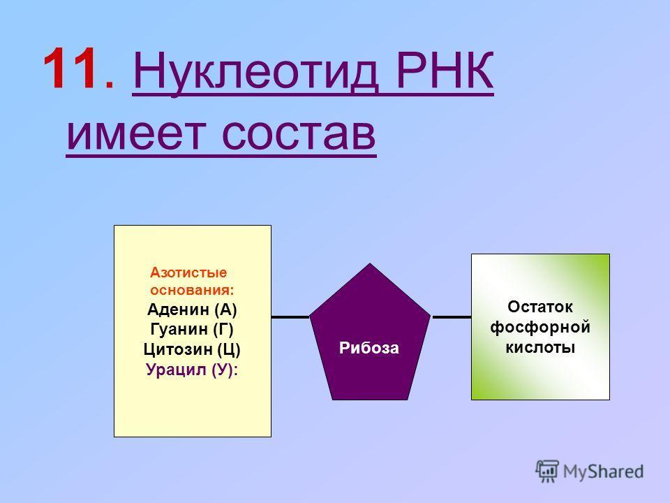 11. Нуклеотид РНК имеет состав Азотистые основания: Аденин (А) Гуанин (Г) Цитозин (Ц) Урацил (У): Рибоза Остаток фосфорной кислоты