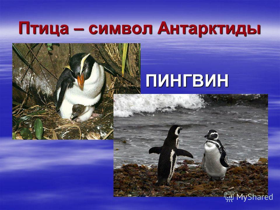 Птица – символ Антарктиды ПИНГВИН