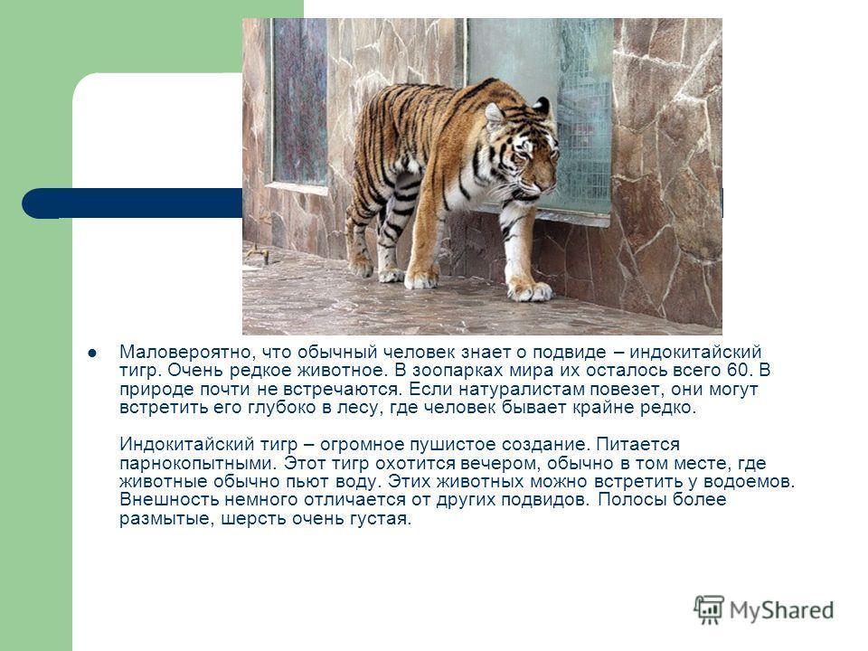 Маловероятно, что обычный человек знает о подвиде – индокитайский тигр. Очень редкое животное. В зоопарках мира их осталось всего 60. В природе почти не встречаются. Если натуралистам повезет, они могут встретить его глубоко в лесу, где человек бывае
