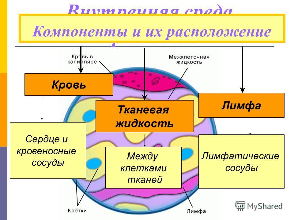 Внутренняя среда организма Компоненты и их расположение Кровь Тканевая жидкость Лимфа Сердце и кровеносные сосуды Между клетками тканей Лимфатические сосуды