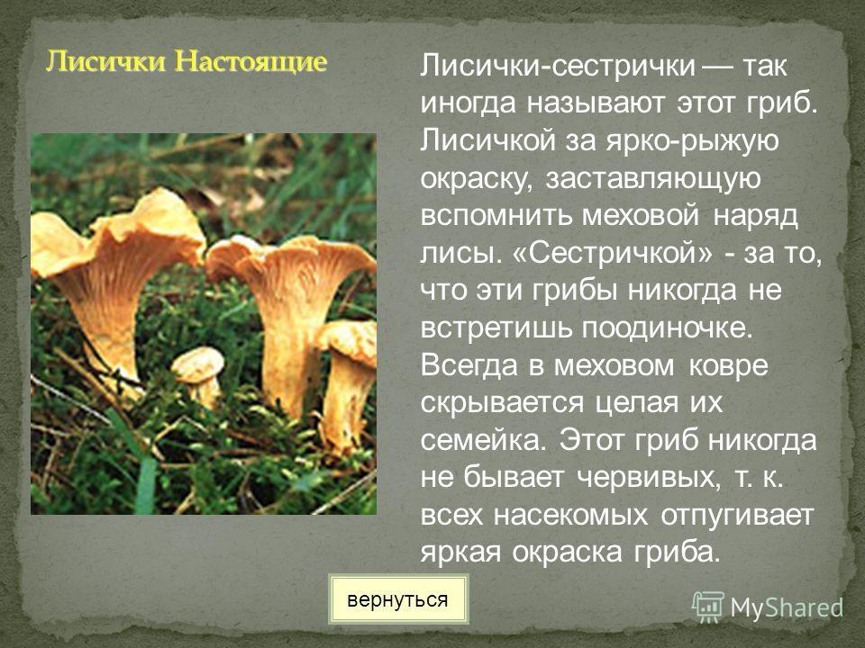 Лисички-сестрички так иногда называют этот гриб. Лисичкой за ярко-рыжую окраску, заставляющую вспомнить меховой наряд лисы. «Сестричкой» - за то, что эти грибы никогда не встретишь поодиночке. Всегда в меховом ковре скрывается целая их семейка. Этот