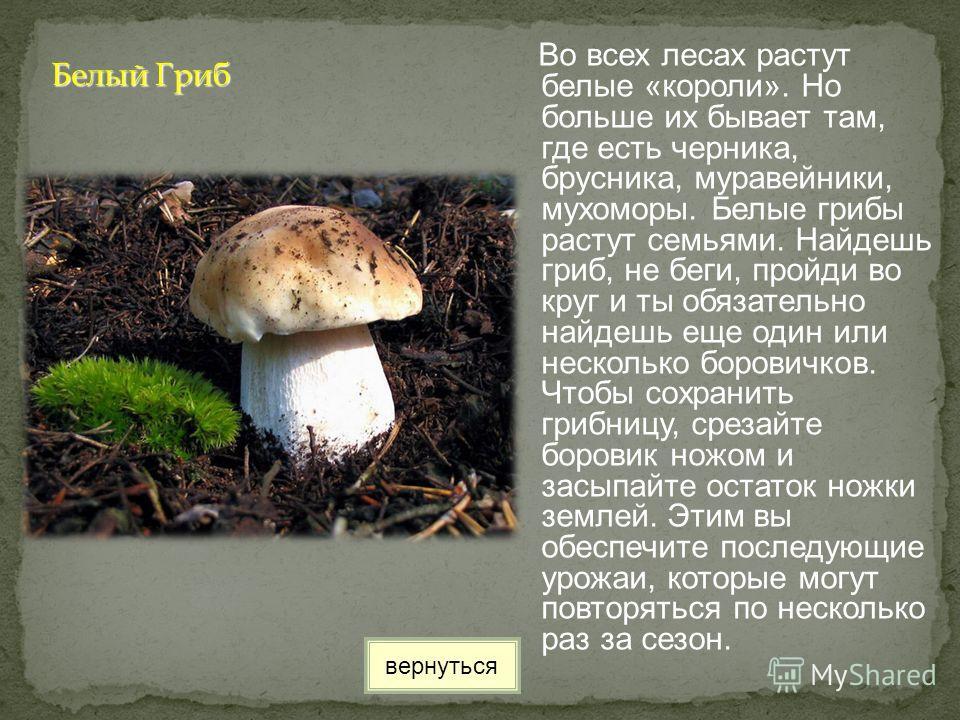 Во всех лесах растут белые «короли». Но больше их бывает там, где есть черника, брусника, муравейники, мухоморы. Белые грибы растут семьями. Найдешь гриб, не беги, пройди во круг и ты обязательно найдешь еще один или несколько боровичков. Чтобы сохра