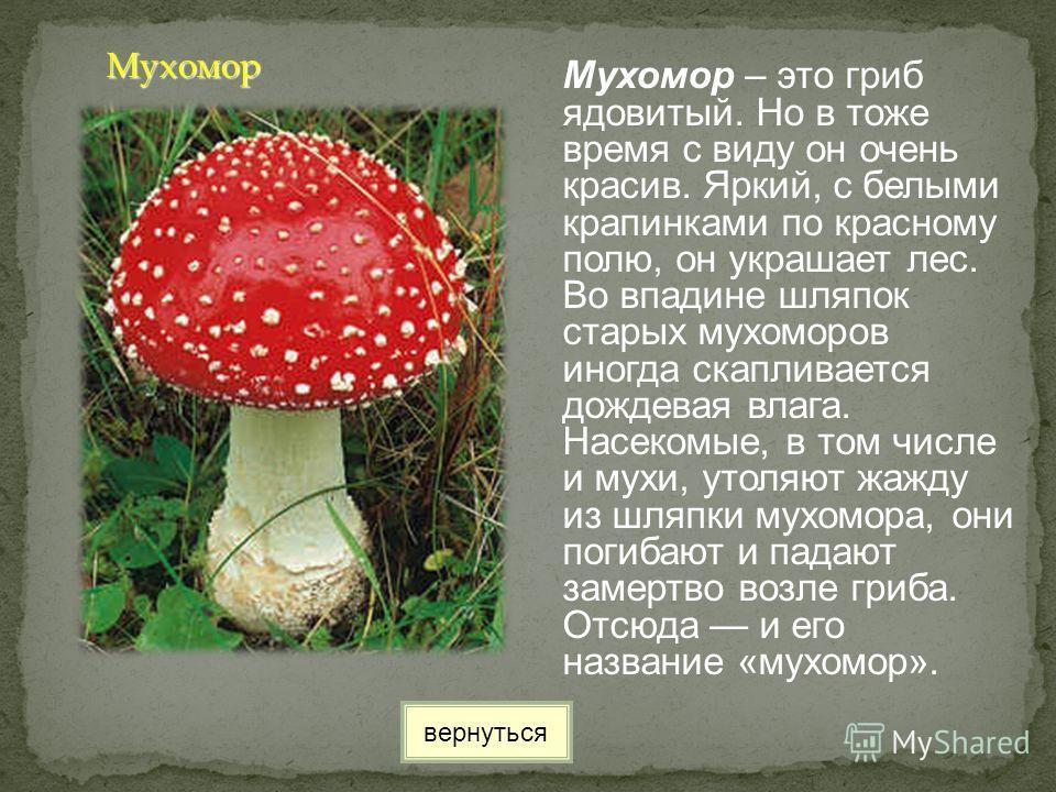 Мухомор – это гриб ядовитый. Но в тоже время с виду он очень красив. Яркий, с белыми крапинками по красному полю, он украшает лес. Во впадине шляпок старых мухоморов иногда скапливается дождевая влага. Насекомые, в том числе и мухи, утоляют жажду из